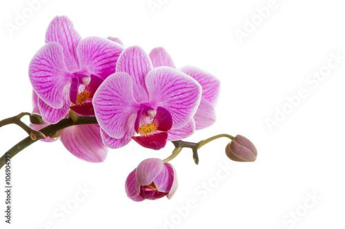Fototapeta Pink orchid flower.