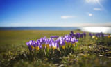 Crocuses by lake - 106929755