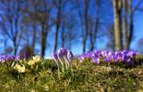 Purple crocuses in spring - 106929784