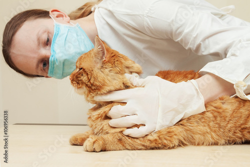 Fototapeta Veterinarian examining teeth of a red cat while doing checkup