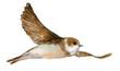 Постер, плакат: птица ласточка акварель