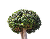 Bonsai tree on white background.