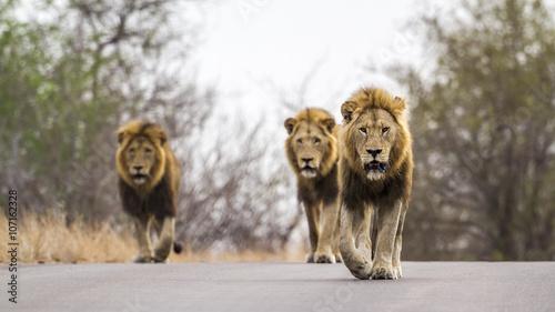 Fotobehang Lion Lion in Kruger National park, South Africa