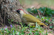 European green woodpecker feeding on a ground