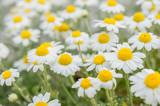 chamomile field macro