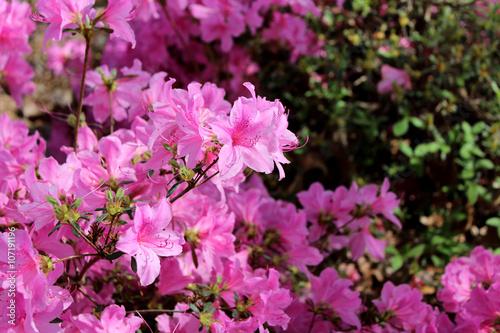 Fotobehang Azalea azaleas