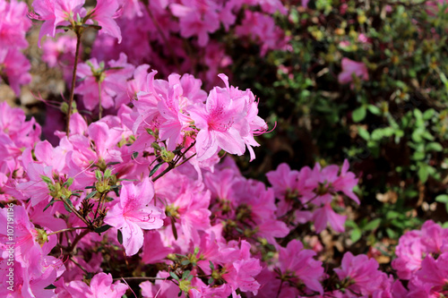 Plexiglas Azalea azaleas