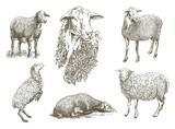 sheep breeding sketch - 107206157