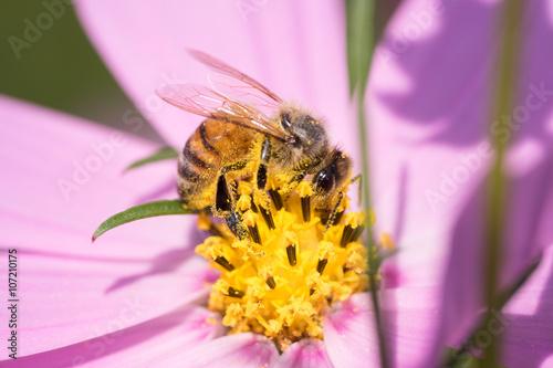 蜜蜂とコスモス