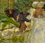 Falco che atterra sul sasso