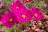 Cosmos flowers in the outdoor garden