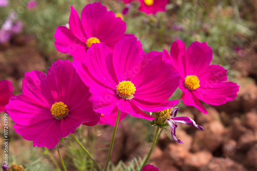 Fotobehang Roze Cosmos flowers in the outdoor garden