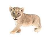 baby lion isolated on white background - 107244306