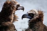 Cinereous Vulture - European Black Vulture (Aegypius Monachus)