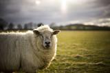 Pregnant Ewe. Spring. Sheep in Cotswold Landscape. Cheltenham, UK - 107291724