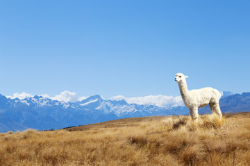 pasture with animal and mountains in sunny day in new zealand