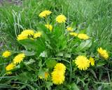 Dandelions in the green grass.