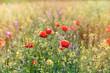 Red poppy flower in a field of rapeseed - meadow flowers in spring