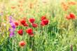 Wild poppy flower - spring in meadow