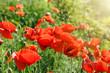 Wild poppy flowers in meadow - meadow flowers in spring