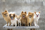 selective focus on small body brown chihuahua dog and his family