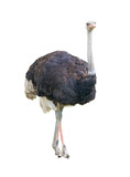 Fototapety African two-toed ostrich cutout