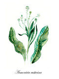 Horse-radish. Collection herb. Watercolor hand drawn illustration. Botanical illustration