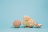 A day old chick sits in an egg carton full of brown eggs