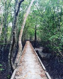 Mangrove Forest Walkway. Krabi Town, Thailand.
