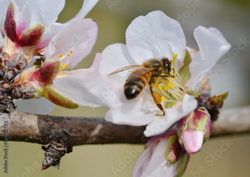 Poster Bee On Almond Tree Flower In Springtime.