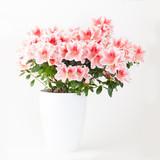 Pink and white azalea flower plant in white pot on light backgro