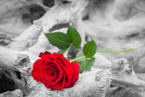 Red rose on the beach. Color against black and white. Love, romance, melancholy concepts. - 107518386