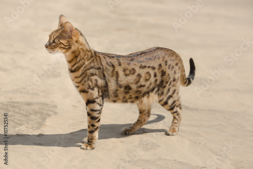 Poster Savannah cat in desert