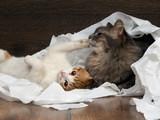 Funny cat and kitten playing with the toilet paper on the floor. Cat large, gray. Kitten small, fur is white with red. Paper crumpled, torn  - 107534173