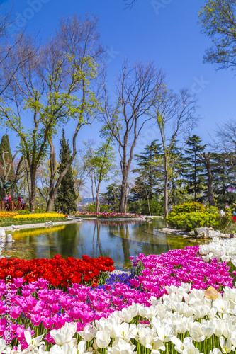 Obraz Beautiful tulips, fresh spring flowers, flowerbed, Emirgan City Park, Istanbul, Turkey