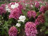 pembe çiçekler 4