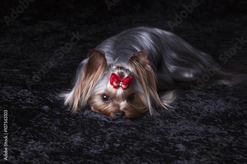 Poster Cute Yorkshire Terrier on Black Blanket