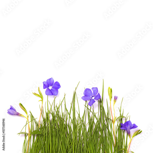 Poster greeting card  green grass periwinkle flower design blank form