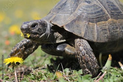Poster Açlığını gideren kaplumbağa