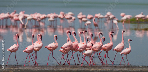 The courtship dance flamingo Poster