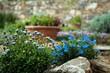 Obrazy na płótnie, fototapety, zdjęcia, fotoobrazy drukowane : giardino roccioso con fiori azzurri