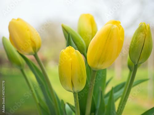 gelbe tulpen aus dem garten fr hlingsblumen tulpenbl te stockfotos und lizenzfreie bilder. Black Bedroom Furniture Sets. Home Design Ideas