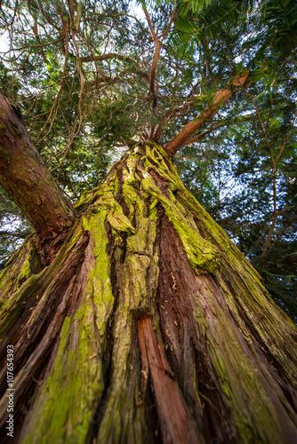 Poster Il tronco maestoso di una quercia