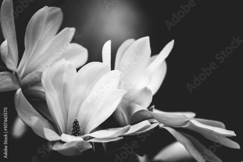 Obraz na Szkle magnolia flower on a black background