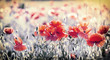 Wild red poppy flowers in meadow - beautiful spring