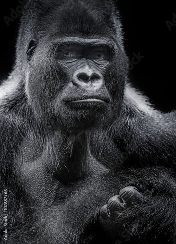 Poster portrait of gorilla