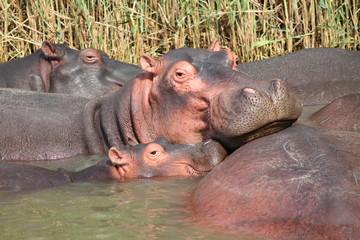 Family of hippos on lake