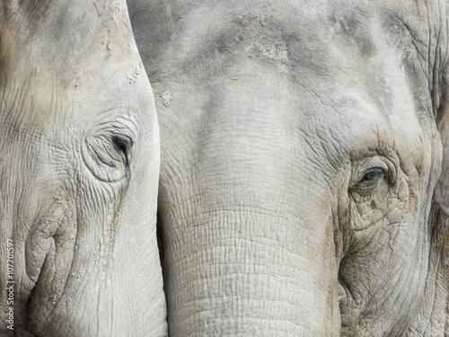 Fototapeta Head from Elephant in the Leipzig Zoo, Germany