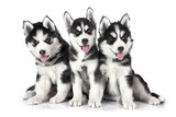 Siberian Husky puppies over white