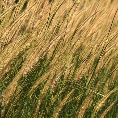 Plakat reeds of grass
